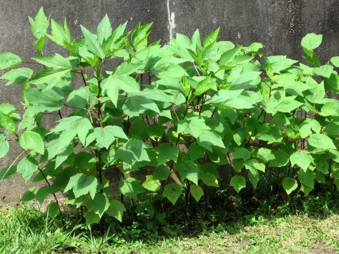 feuilles de Dâh